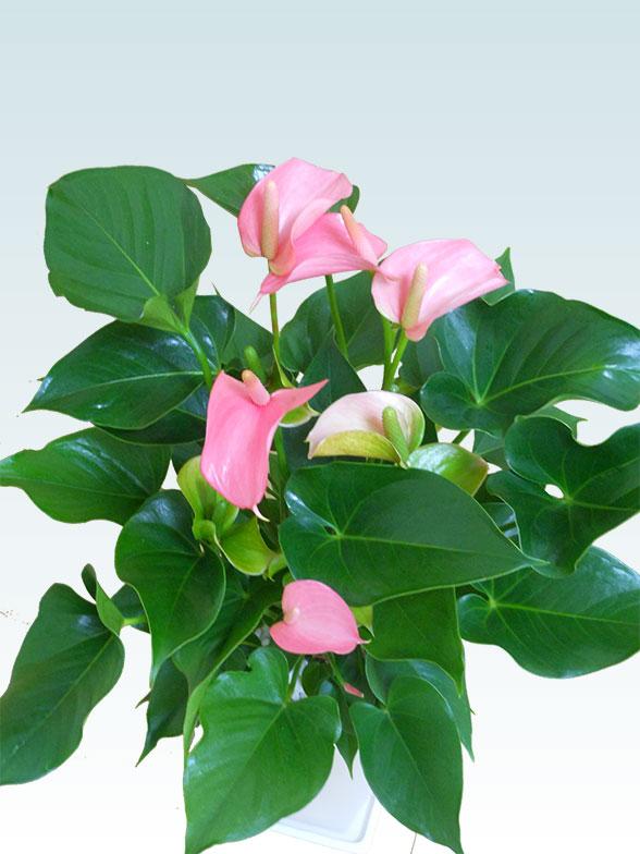アンスリウム ピンク色(陶器鉢植込み、スクエア白色) 5