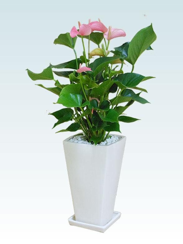 アンスリウム ピンク色(陶器鉢植込み、スクエア白色) 6
