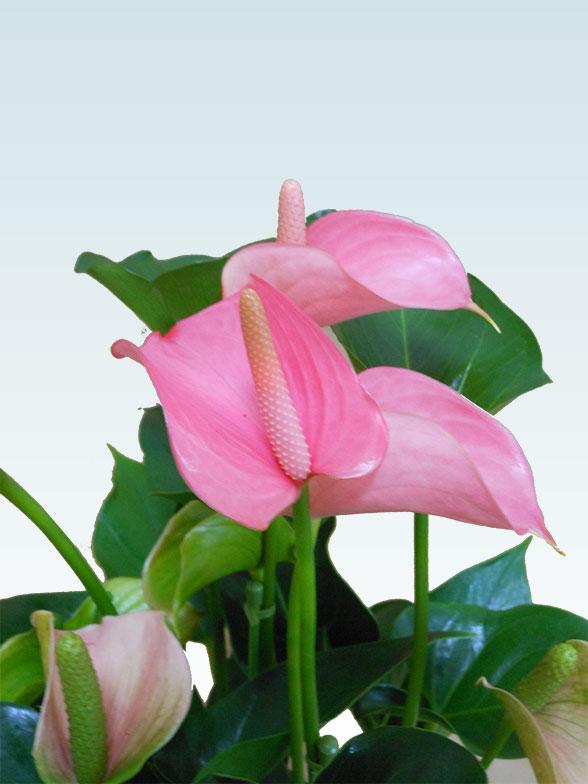 アンスリウム ピンク色(陶器鉢植込み、スクエア白色) 7