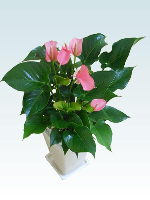 アンスリウム ピンク色(陶器鉢植込み、スクエア白色) 8