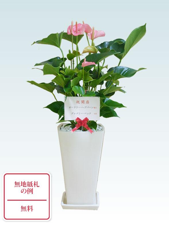 アンスリウム ピンク色(陶器鉢植込み、スクエア白色) 10