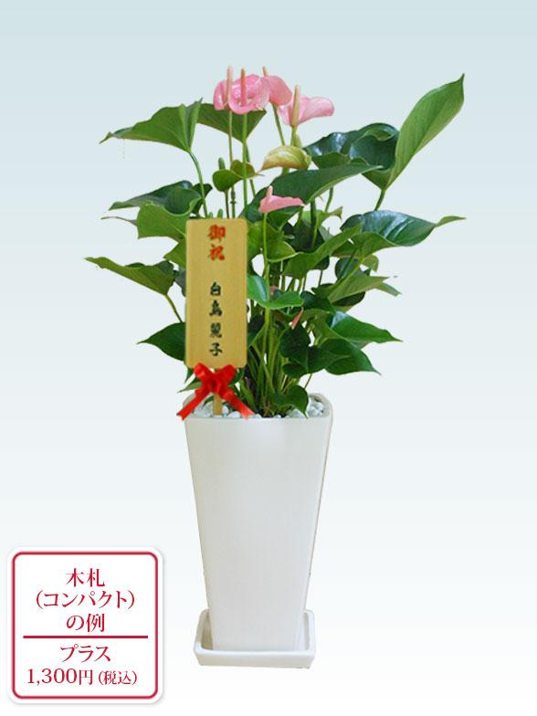 アンスリウム ピンク色(陶器鉢植込み、スクエア白色) 11