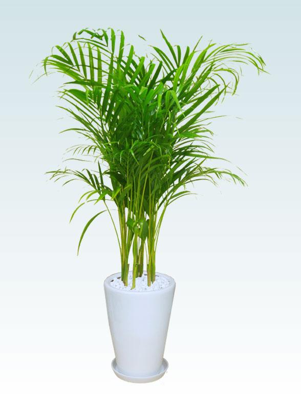 アレカヤシ(陶器鉢植込み、ラウンドタイプ白色) 1