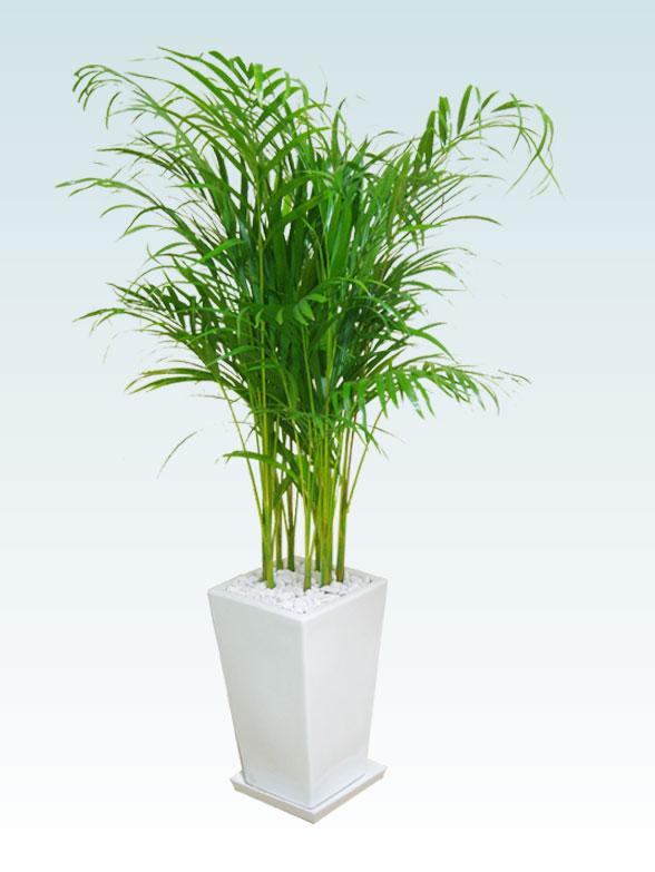 アレカヤシ(陶器鉢植込み、スクエアタイプ白色) 1