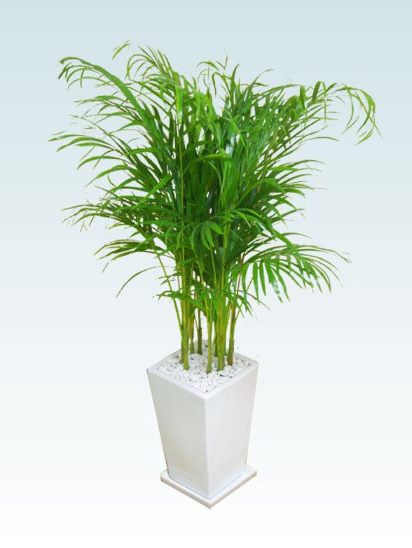 アレカヤシ(陶器鉢植込み、スクエアタイプ白色) 14