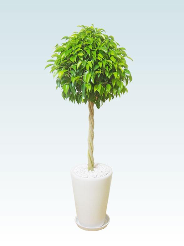 ベンジャミン(陶器鉢植込み、ラウンドタイプ白色) 1