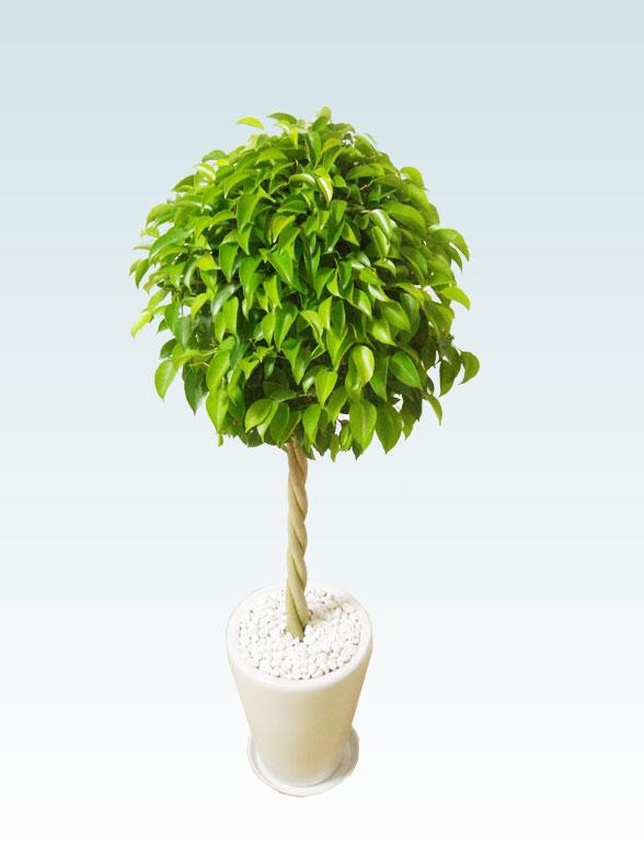 ベンジャミン(陶器鉢植込み、ラウンドタイプ白色) 3