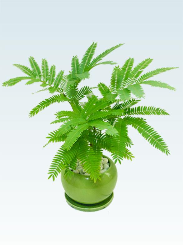 エバーフレッシュ(陶器鉢植込み、4号ラウンド緑色) 1