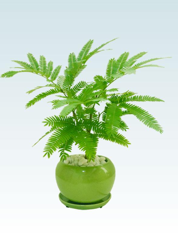エバーフレッシュ(陶器鉢植込み、4号ラウンド緑色) 2