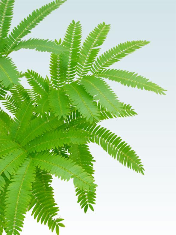 エバーフレッシュ(陶器鉢植込み、4号ラウンド緑色) 3