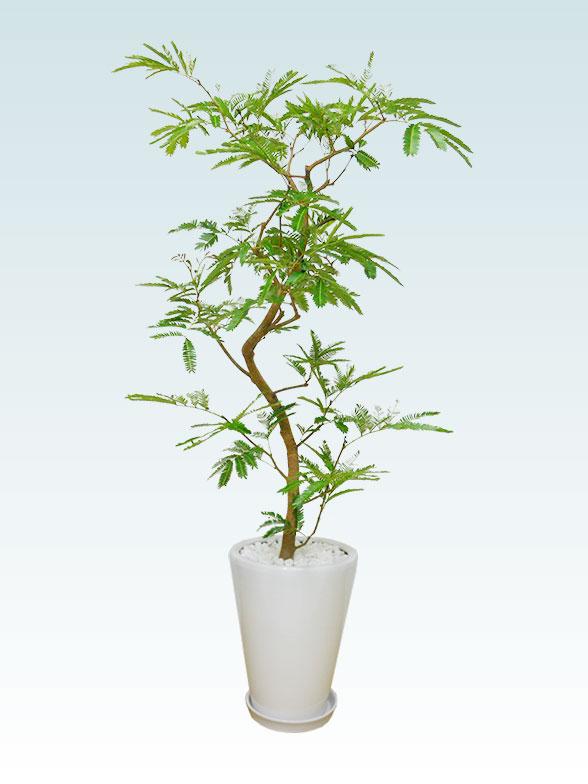 エバーフレッシュ(陶器鉢植込み、ラウンドタイプ白色) 4