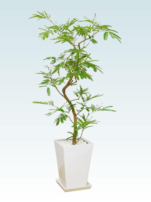 エバーフレッシュ(陶器鉢植込み、スクエアタイプ白色) 4