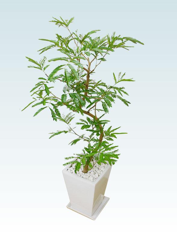 エバーフレッシュ(陶器鉢植込み、スクエアタイプ白色) 5