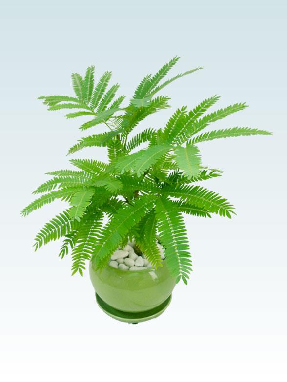 エバーフレッシュ(陶器鉢植込み、4号ラウンド緑色) 6
