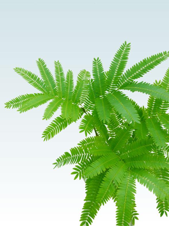 エバーフレッシュ(陶器鉢植込み、4号ラウンド緑色) 7