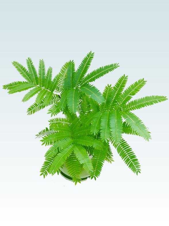 エバーフレッシュ(陶器鉢植込み、4号ラウンド緑色) 8