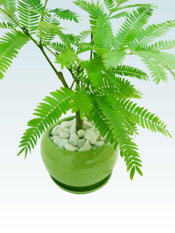 エバーフレッシュ(陶器鉢植込み、4号ラウンド緑色) 9