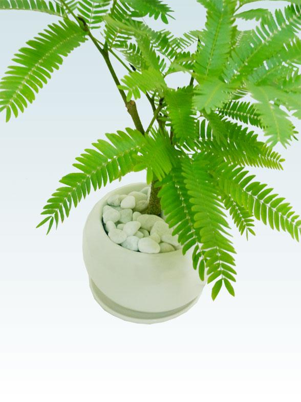 エバーフレッシュ(陶器鉢植込み、4号ラウンド白色)9
