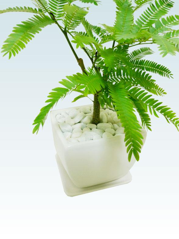 エバーフレッシュ(陶器鉢植込み、4号スクエア白色) 9