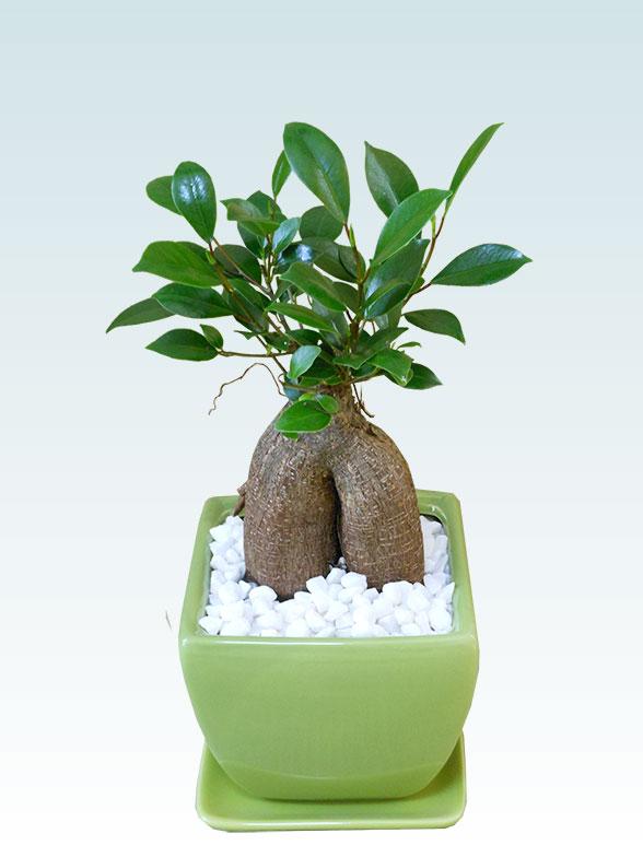 ガジュマル(陶器鉢植込み、4号スクエア緑色) 1
