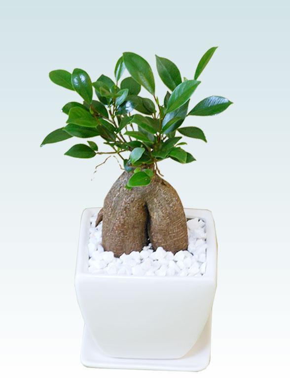 ガジュマル(陶器鉢植込み、4号スクエア白色) 1