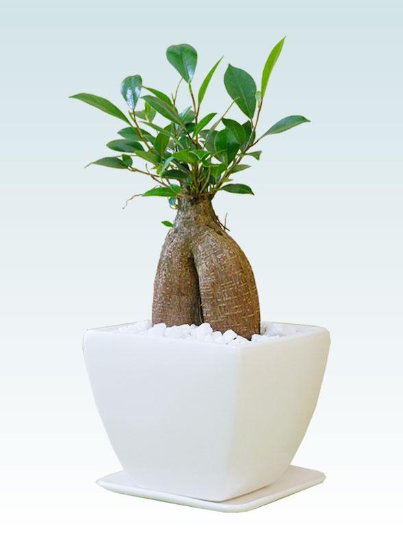 ガジュマル(陶器鉢植込み、4号スクエア白色)2