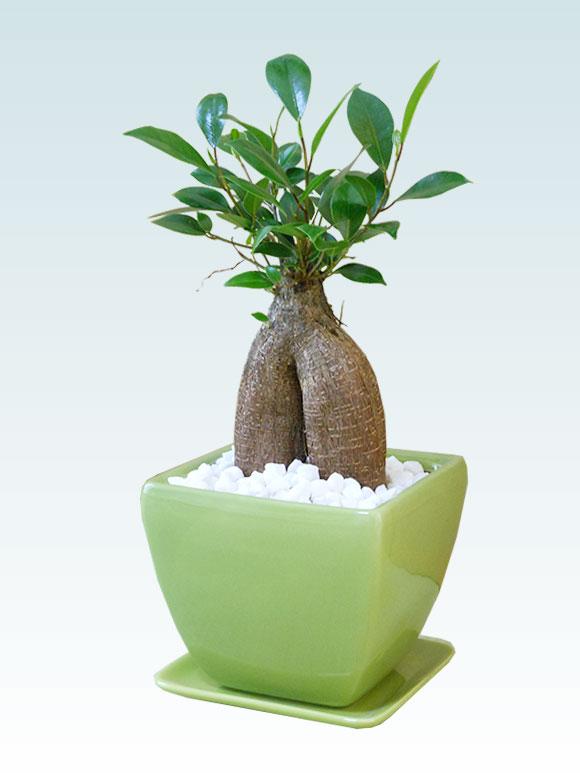 ガジュマル(陶器鉢植込み、4号スクエア緑色) 2