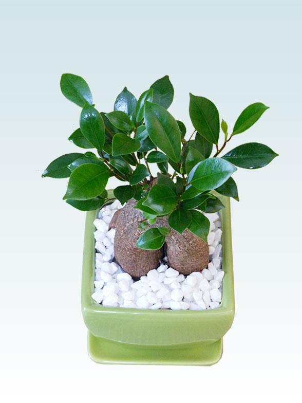 ガジュマル(陶器鉢植込み、4号スクエア緑色) 3