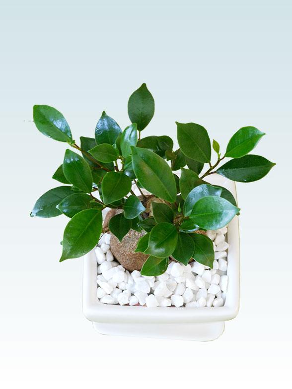 ガジュマル(陶器鉢植込み、4号スクエア白色)3