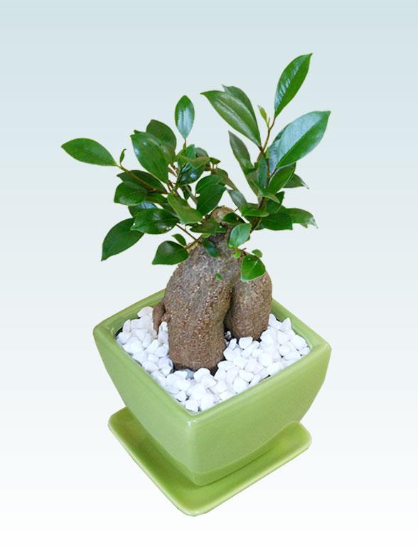 ガジュマル(陶器鉢植込み、4号スクエア緑色)4