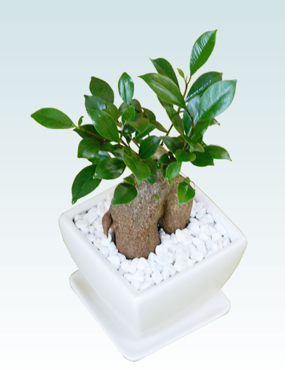 ガジュマル(陶器鉢植込み、4号スクエア白色) 4