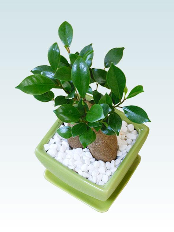 ガジュマル(陶器鉢植込み、4号スクエア緑色)5