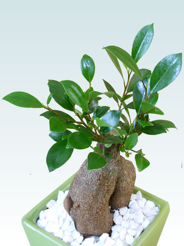ガジュマル(陶器鉢植込み、4号スクエア緑色)6
