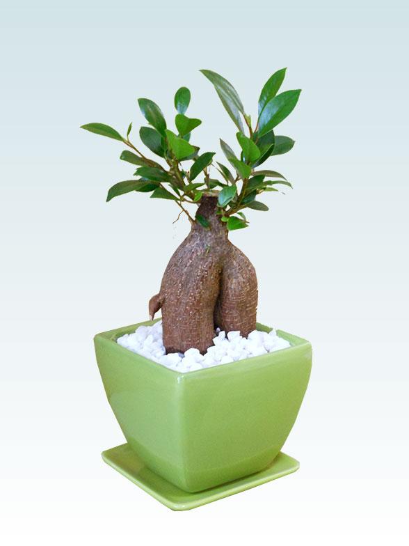 ガジュマル(陶器鉢植込み、4号スクエア緑色) 7