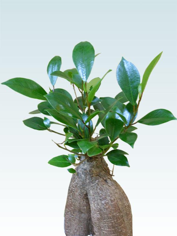 ガジュマル(陶器鉢植込み、4号スクエア緑色) 8
