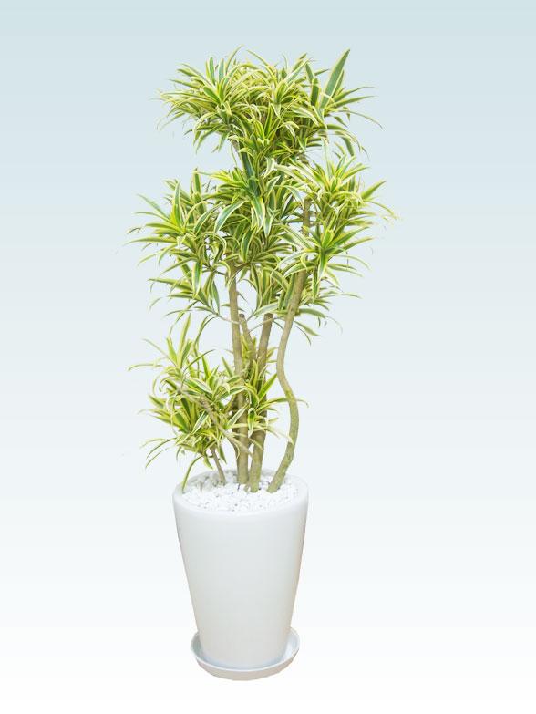 ソングオブインディア(陶器鉢植込み、ラウンドタイプ白色) 1