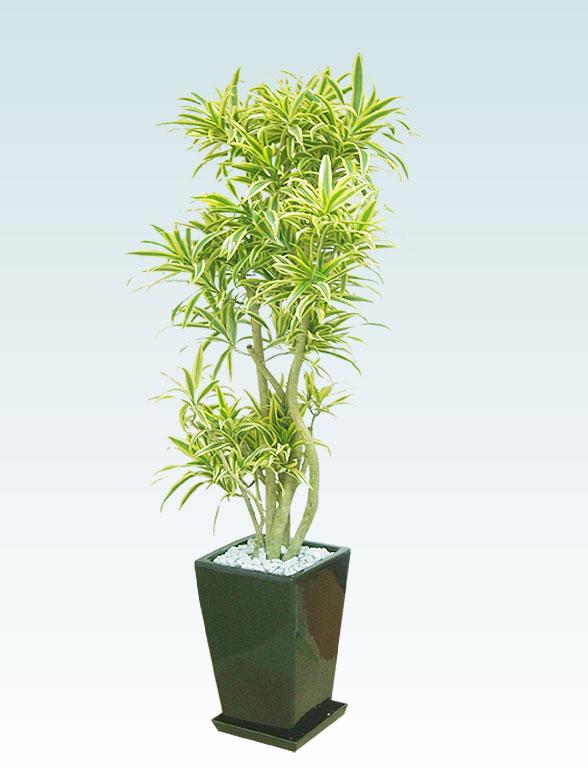 ソングオブインディア(陶器鉢植込み、スクエアタイプ黒色) 1