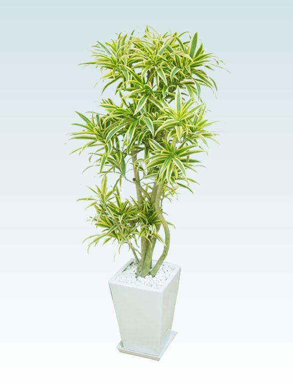 ソングオブインディア(陶器鉢植込み、スクエアタイプ白色) 5