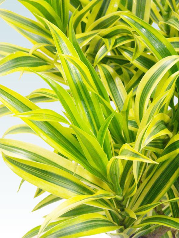 ソングオブインディア(籐かご付、ダークブラウン色) Lサイズ8