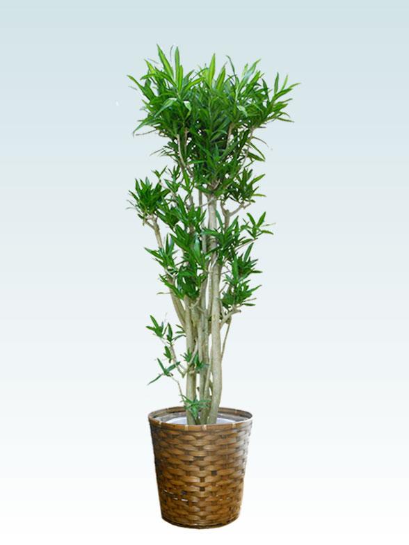 ソングオブジャマイカ 大鉢Lサイズ 藤かご付き・ダークブラウン 1