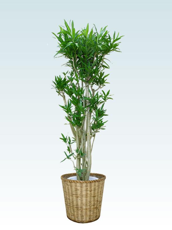 ソングオブジャマイカ 大鉢Lサイズ 藤かご付き・ライトブラウン 1