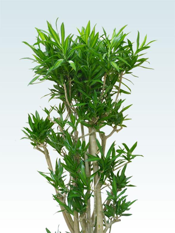ソングオブジャマイカ 大鉢Lサイズ 藤かご付き・ダークブラウン 2