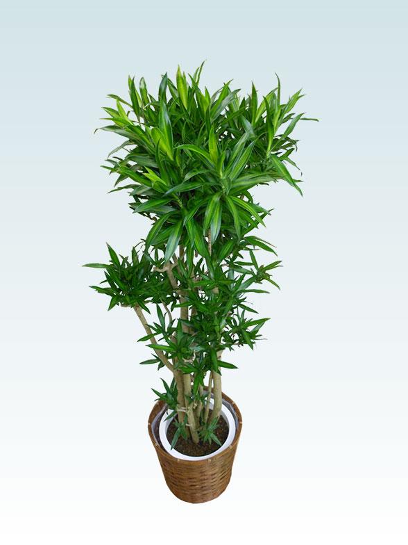 ソングオブジャマイカ 大鉢Lサイズ 藤かご付き・ダークブラウン 3