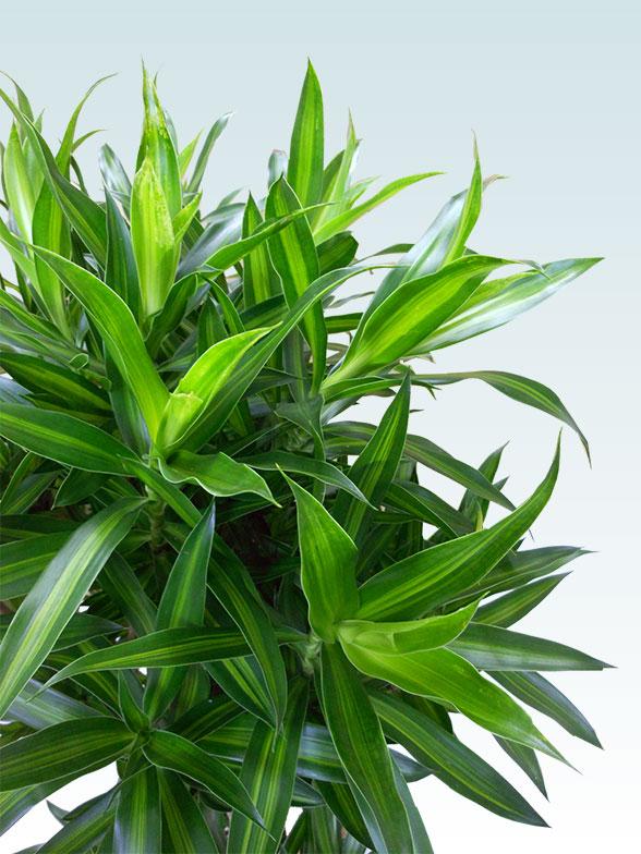 ソングオブジャマイカ 大鉢Lサイズ 藤かご付き・ダークブラウン 4