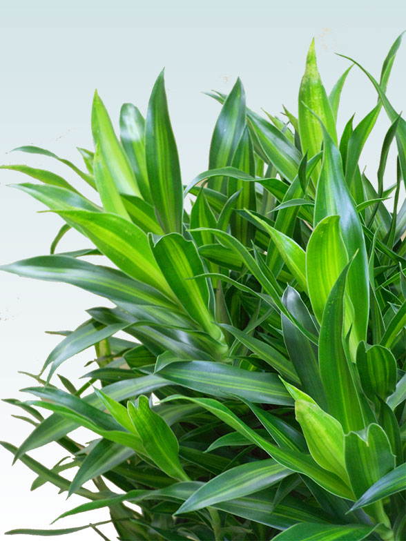ソングオブジャマイカ 大鉢Lサイズ 藤かご付き・ダークブラウン 5