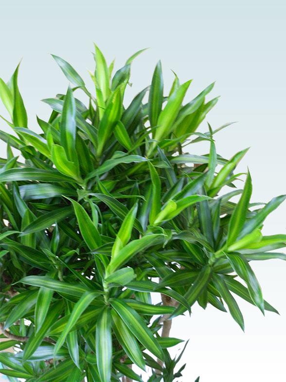 ソングオブジャマイカ 大鉢Lサイズ 藤かご付き・ダークブラウン 7