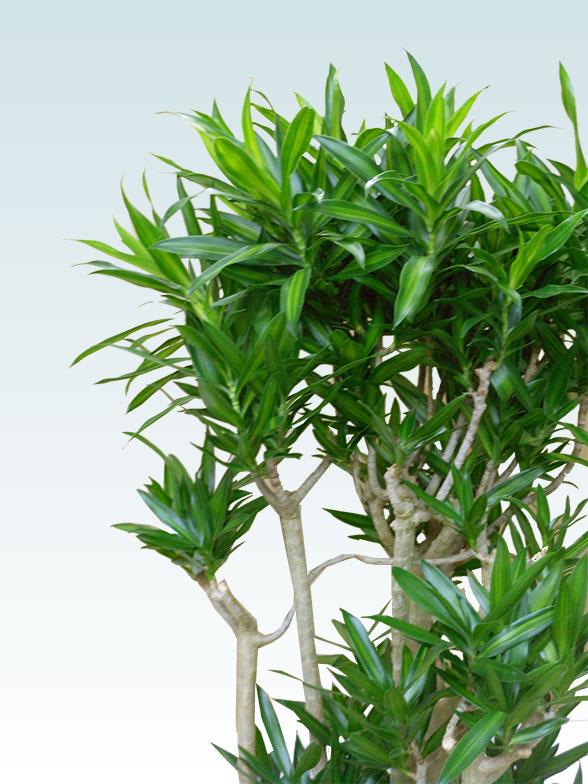 ソングオブジャマイカ 大鉢Lサイズ 藤かご付き・ダークブラウン 8
