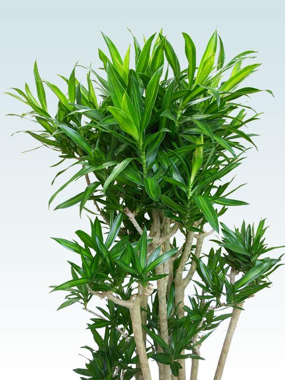 ソングオブジャマイカ 大鉢Lサイズ 藤かご付き・ダークブラウン 11