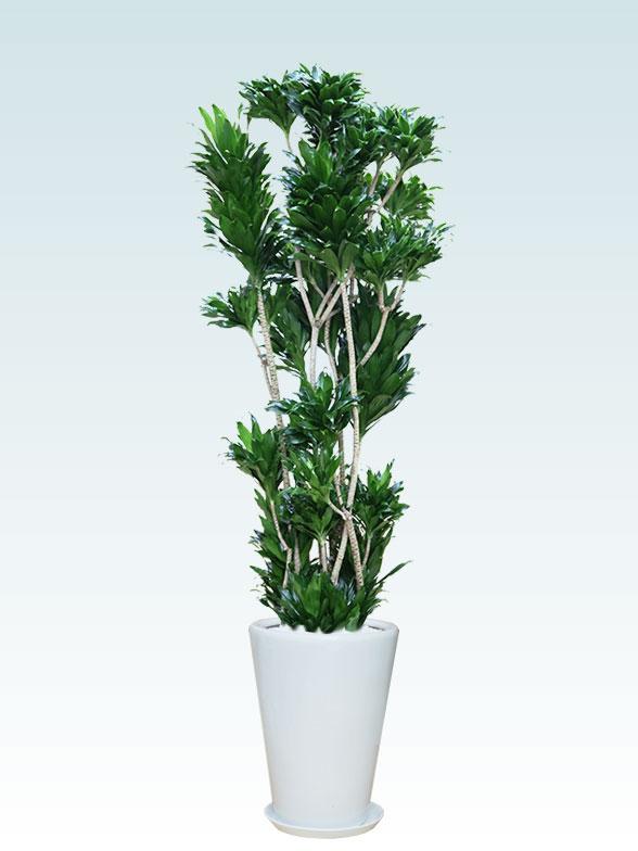 ドラセナコンパクター(陶器鉢植込み、ラウンドタイプ白色) Lサイズ1