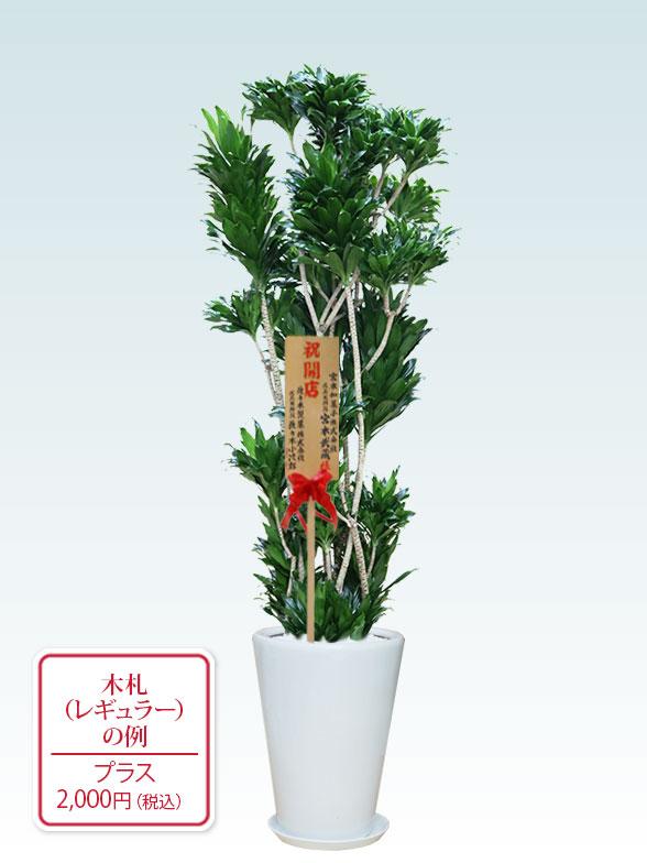 ドラセナコンパクター(陶器鉢植込み、ラウンドタイプ白色) Lサイズ9
